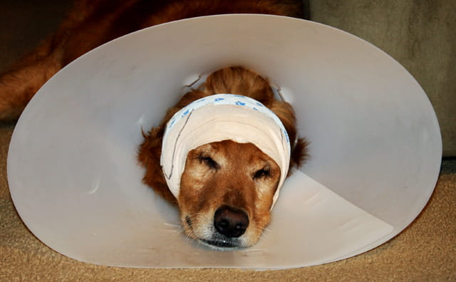 former puppy mill dog with bandage on his head