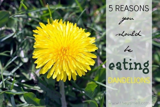 5 Reasons You should be EATING dandelions - nutritious and medicinal powerhouse