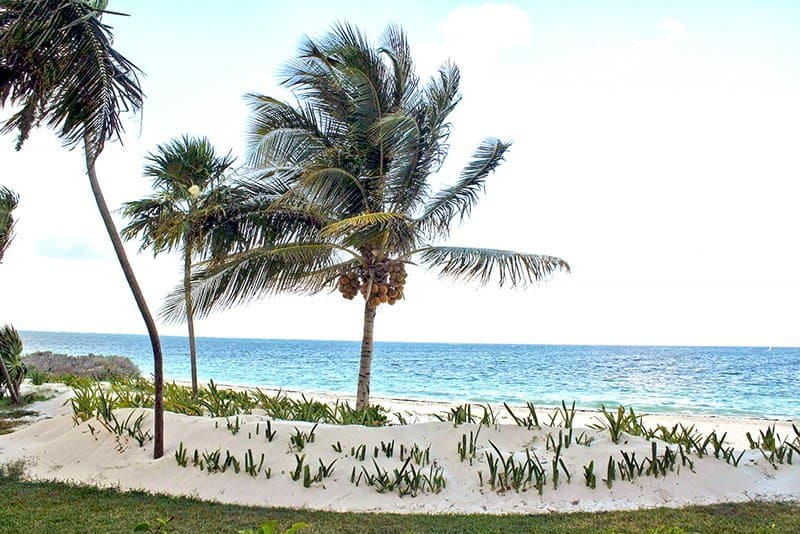 palm tree on white sands on a Cancun beach